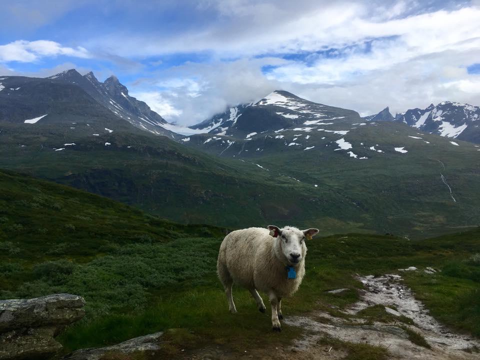 Norsko - krásná příroda a tupé krásné ovce všude kolem